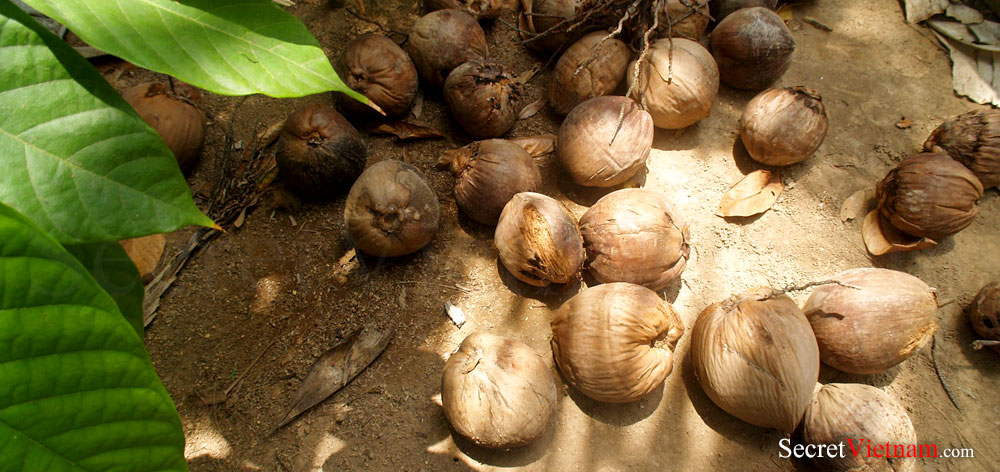 Exploitation of Coconut in Mekong Delta