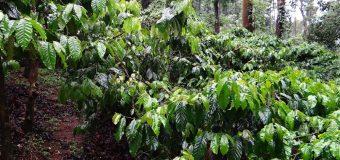 Tea and Coffee Plantation